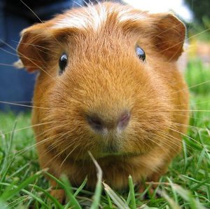 Kim the guinea pig